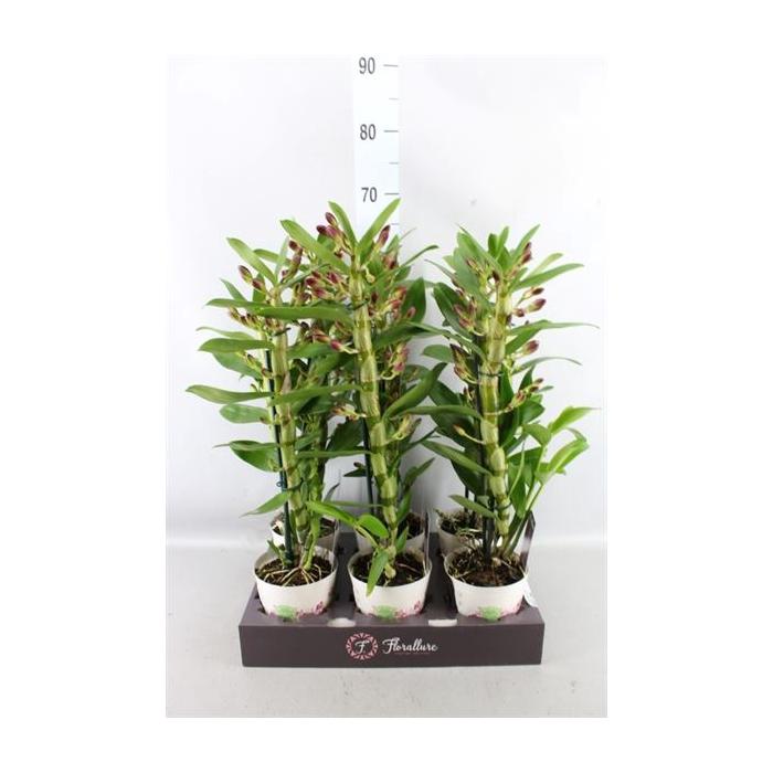<h4>Dendrobium  'Star Class Akatsuki'</h4>