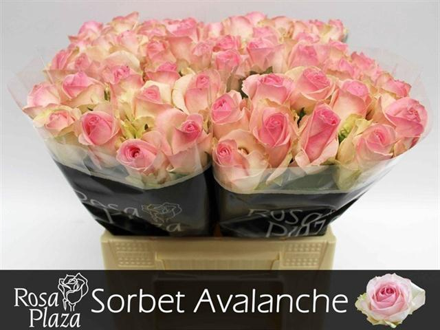 <h4>R GR AVALANCHE SORB+</h4>