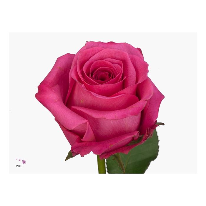 <h4>Rosa Gr. Cotton Candy</h4>