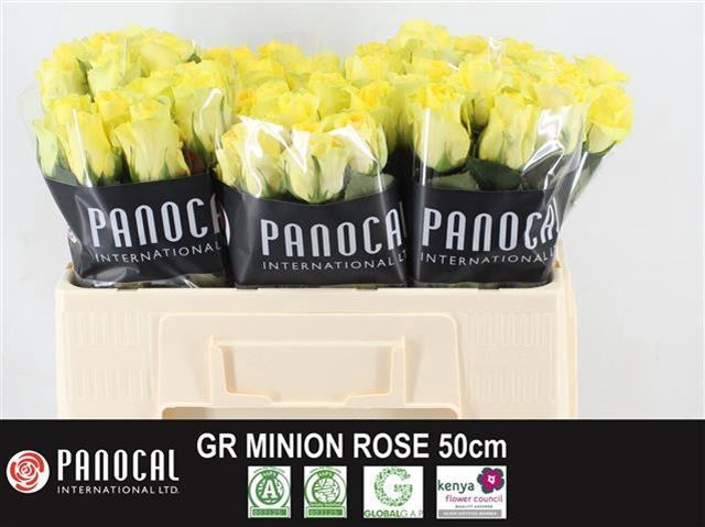 <h4>R GR MINION ROSE</h4>