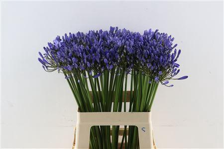 <h4>Agap Uri Blauw 60cm</h4>