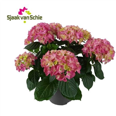 <h4>Hydrangea Mophead Pink 7+</h4>