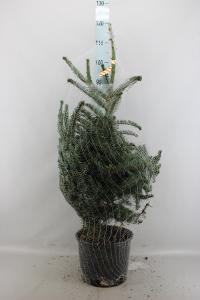 <h4>Abies proc. 'Glauca'</h4>
