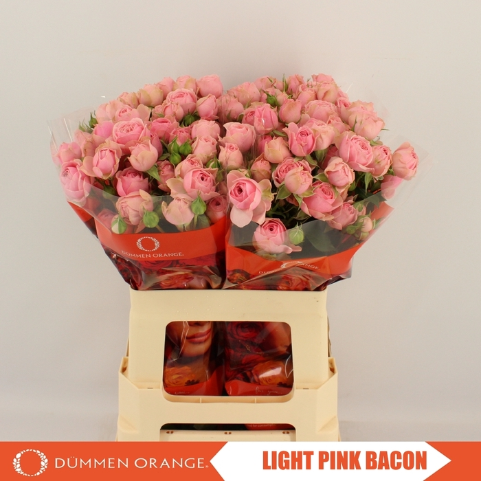 <h4>R TR LIGHT PINK BACON</h4>