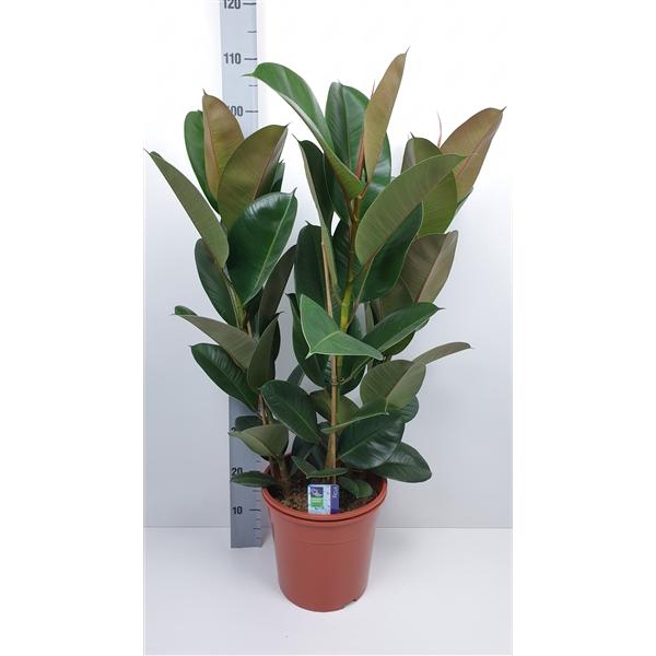 <h4>Ficus Elastica Robusta</h4>