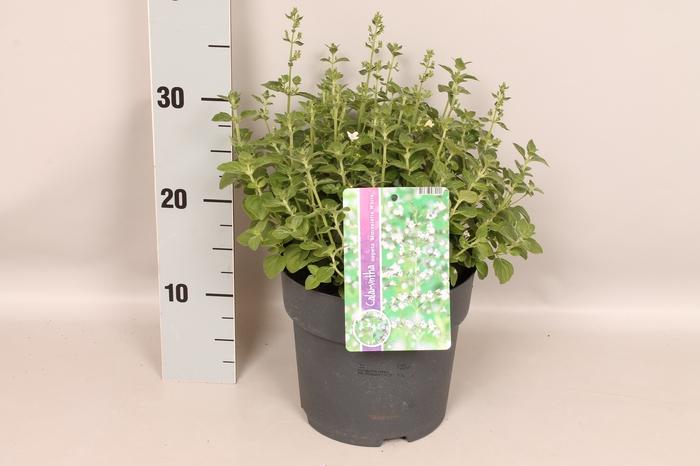 vaste planten 19 cm  Calamintha nepeta White
