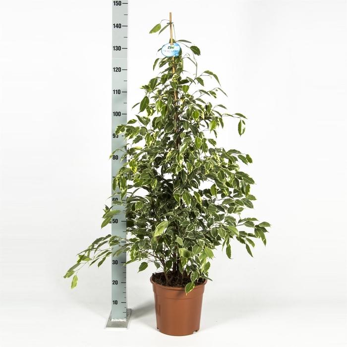 <h4>Ficus benja. 'Golden King'</h4>