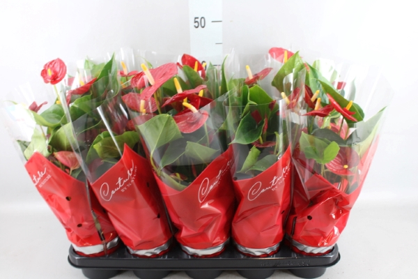 <h4>Anthurium andr. 'Success Red'</h4>