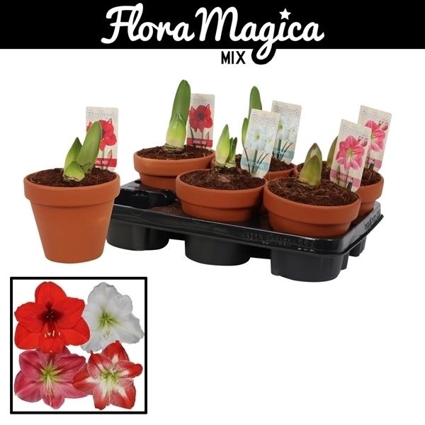 <h4>Hippeastrum Mix 2 Knop Terracotta Steen IN</h4>