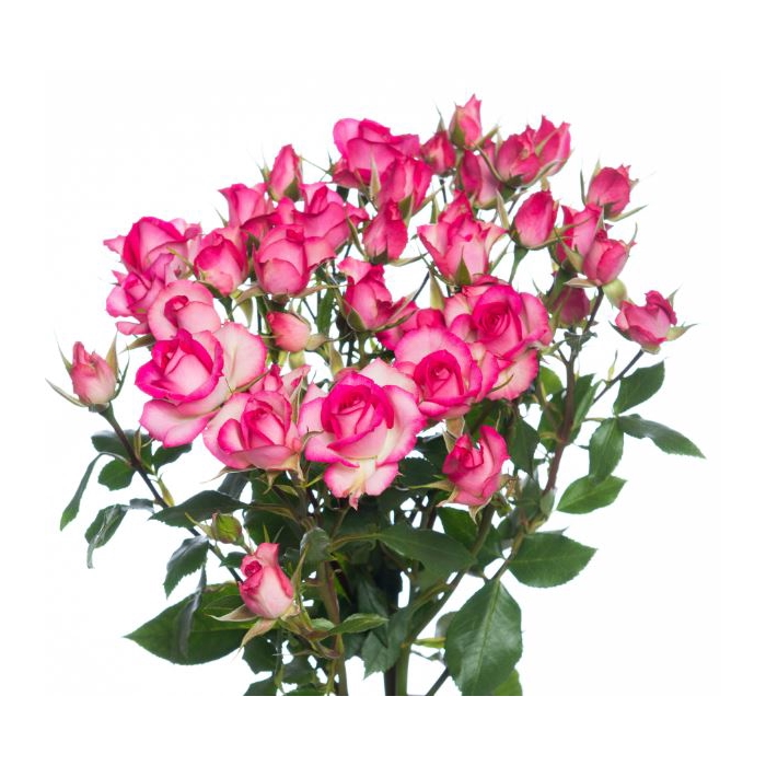 <h4>Rosa sp. Other</h4>