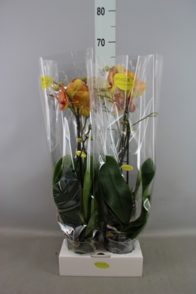 <h4>Phalaenopsis   ...orange</h4>