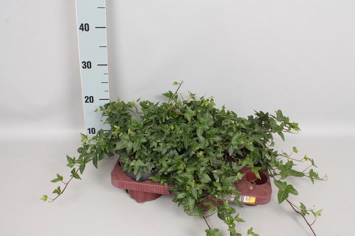 <h4>Hedera Diverse soorten 13 cm</h4>