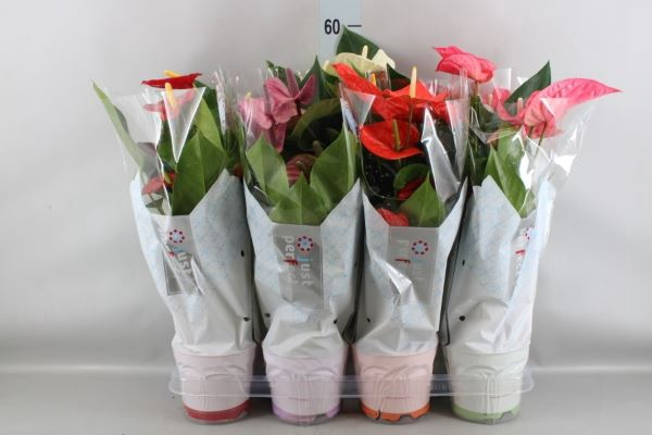 <h4>Anthurium   ...mix</h4>