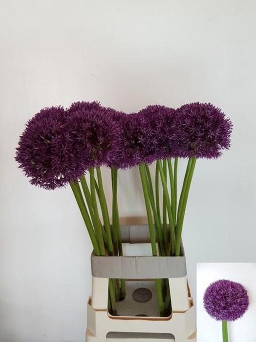 <h4>Allium Pinball Wizar</h4>