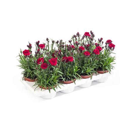 <h4>Dianthus Caryophyllus 'dynamite'</h4>