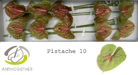 <h4>Anthurium (Andreanum Grp) Pistache</h4>