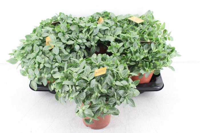 <h4>pl. Smit 15cm - Fittonia Verschaffeltii</h4>