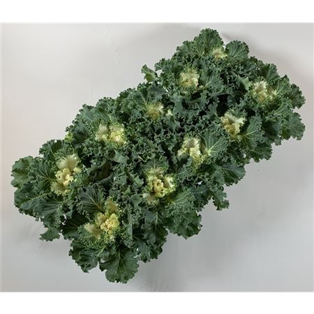 <h4>Brassica Gekruld Wit</h4>