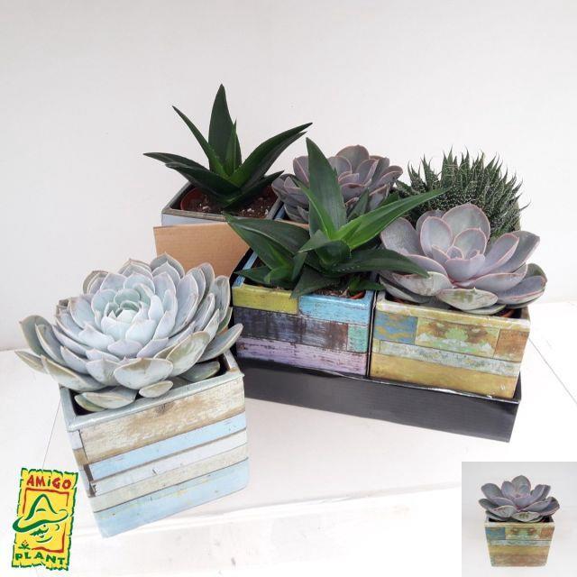 <h4>Succulent mixed 4 sorts 12Ø 18cm</h4>