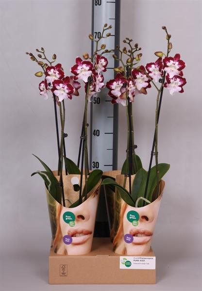 <h4>Phalaenopsis  'GbZ Tinkerbells'</h4>