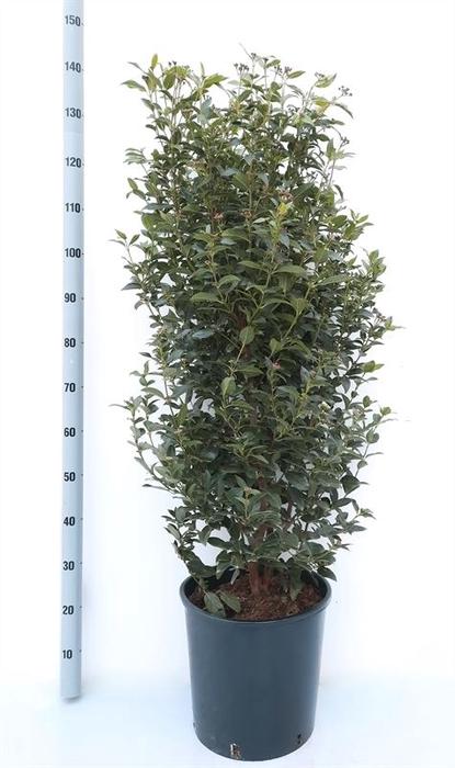 <h4>Viburnum tinus</h4>