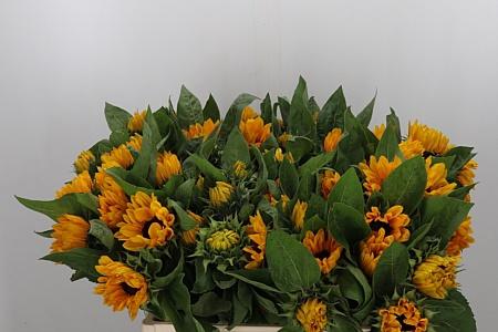 <h4>Helianthus Sunrich Orange</h4>