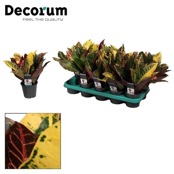 <h4>Croton Petra kopstek 3-5 pp (Decorum)</h4>
