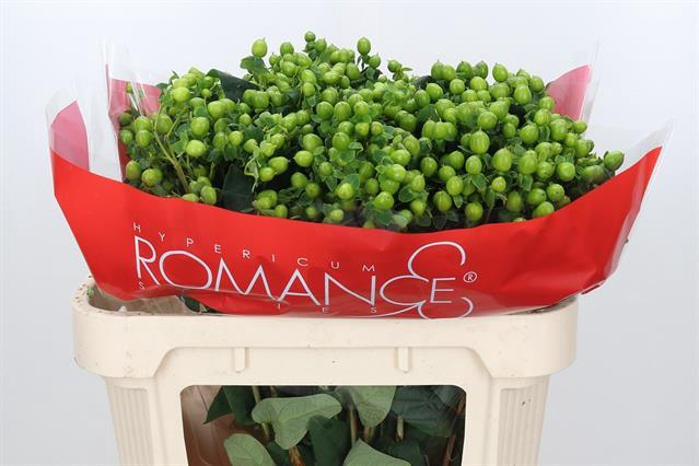 <h4>HYP JUNGLE ROMANCE</h4>