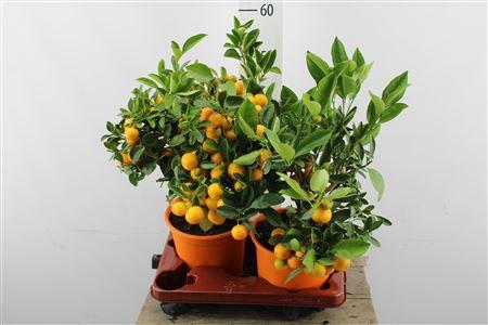 <h4>Citrus Calamondin Bush/stem</h4>