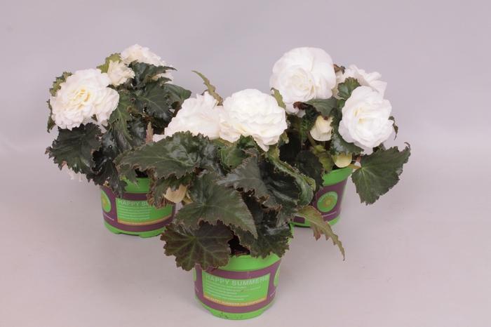 <h4>Begonia Tub. Nonstop white</h4>