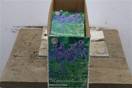 <h4>Bulb Hyacinth Scripta Blue X10</h4>
