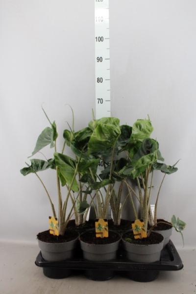 <h4>Alocasia macrorrhiza 'Stingray'</h4>