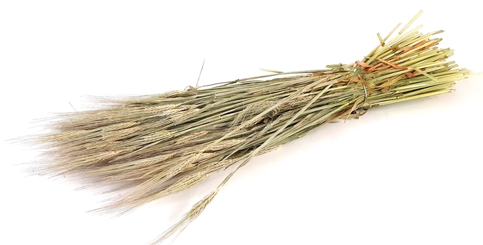 <h4>Hordeum per bunch Frosted White</h4>