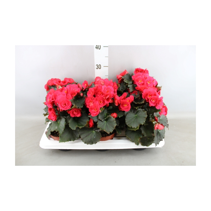 <h4>Begonia elat. 'Belove Cherry'</h4>