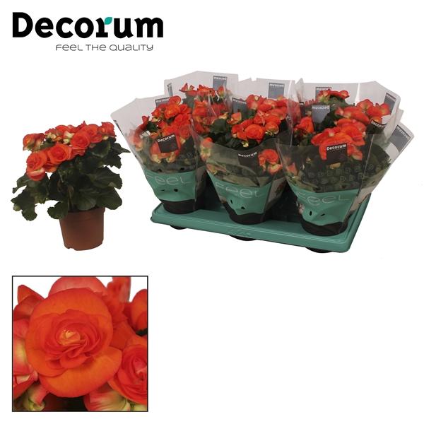 <h4>Begonia ''reina'' oranje 13 cm</h4>