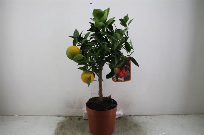 <h4>Citrus Sinassappel Op Stam</h4>
