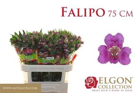 <h4>ALSTR FALIPO</h4>