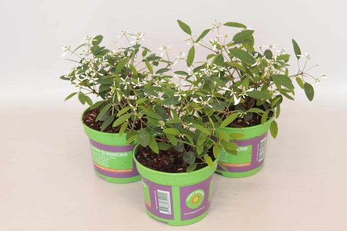 <h4>Euphorbia White</h4>