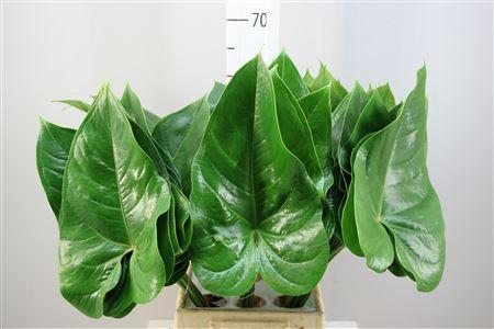 <h4>Anthuriumblad Medium</h4>