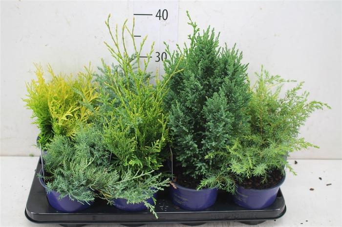 <h4>Coniferen Gemengd</h4>