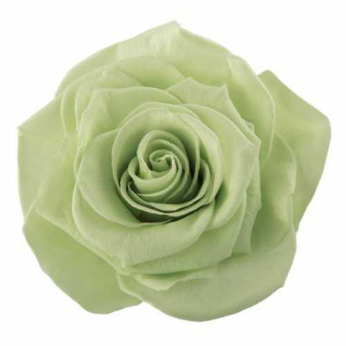 Rose Monalisa Lime Green