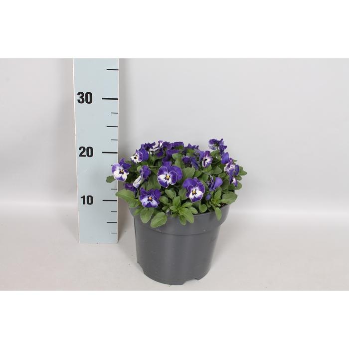<h4>Viola cornuta 19 cm Delft blue</h4>