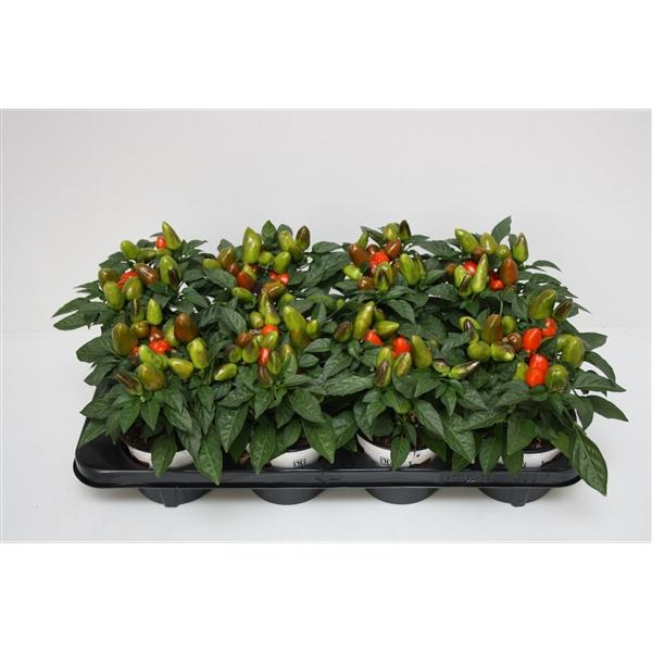 <h4>Capsicum Sombrero Mambo Oranje 12cm</h4>