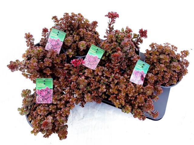 <h4>Sedum spurium Fuldaglut 15Ø 20cm</h4>