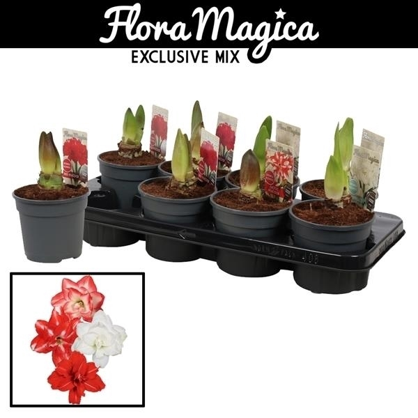 <h4>Hippeastrum Dubbelbl. Mix 2 Knop Extra</h4>