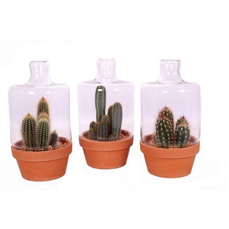 <h4>Cactus 12 Cm In Terracotta Schaal Met Stolp En Ste</h4>