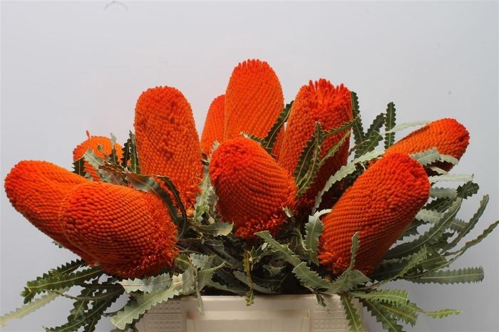 <h4>Banksia Prionotis Orange</h4>