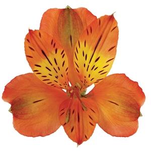 Alstr Orange Premium 80cm