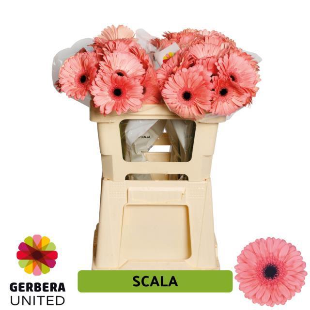 <h4>GE GR SCALA</h4>