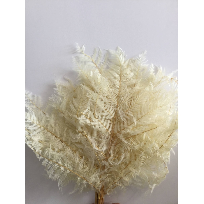 <h4>DRIED FLOWERS - BRACKENFERN PRESERVED BLEACHED 10PCS</h4>